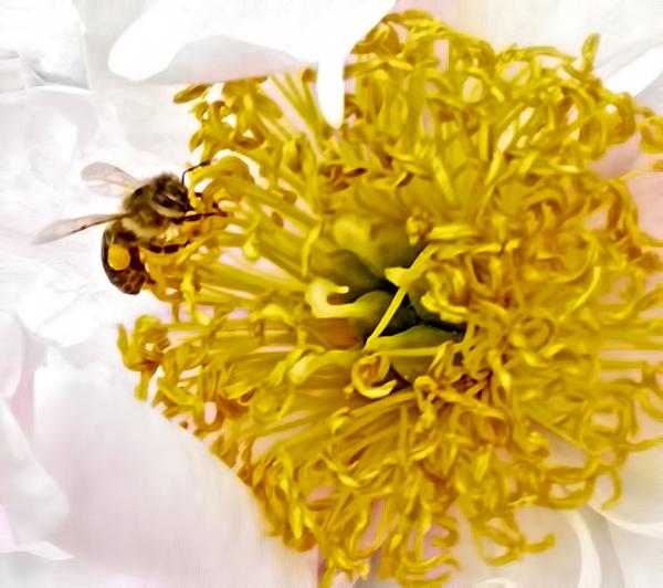 Bee and Peony