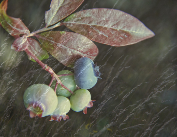 Blueberries ripening / Maturation des myrtilles