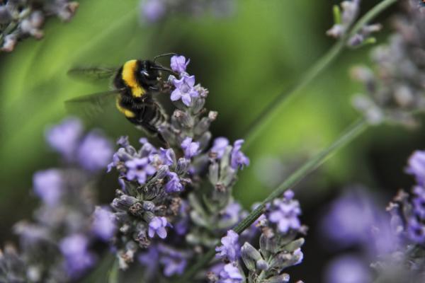 Bee on lavender 2