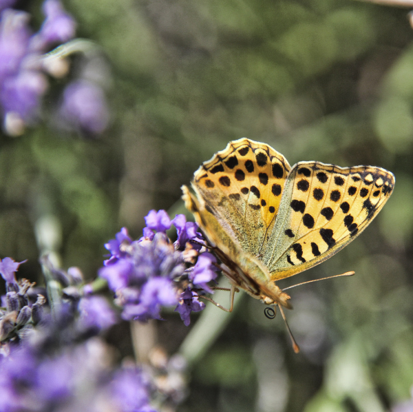 Butterfly with proboscis visible