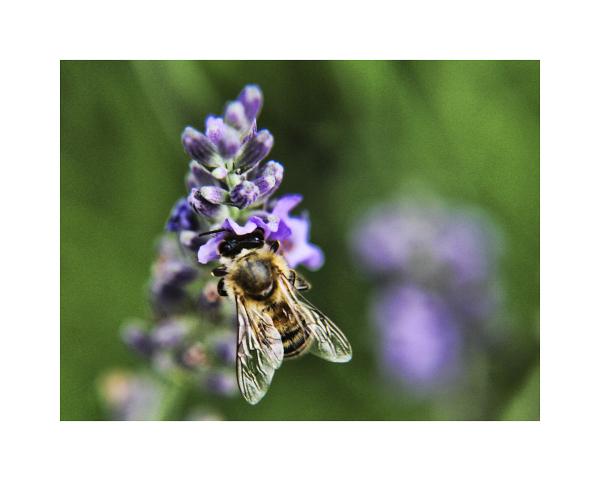 Bee on lavender 3