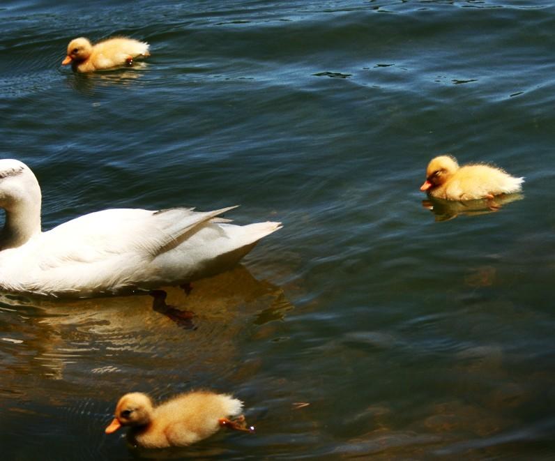 Goslings at Zeewenwacht