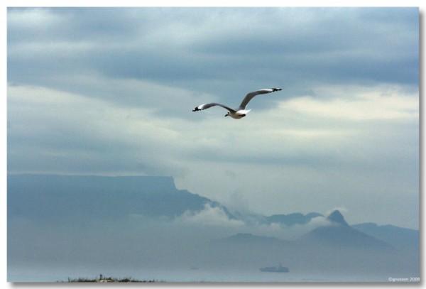 gulls Table Mountain lions head