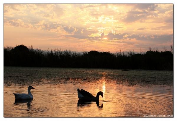 pond geese plattekloof