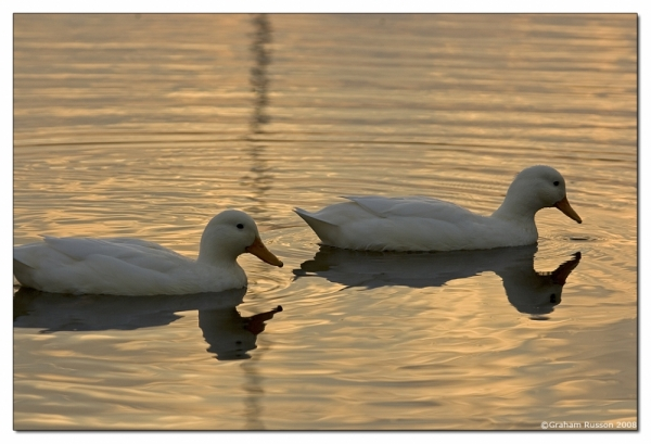Plattekloof pond sunset duck