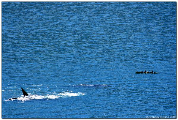 houtbay darwin whale