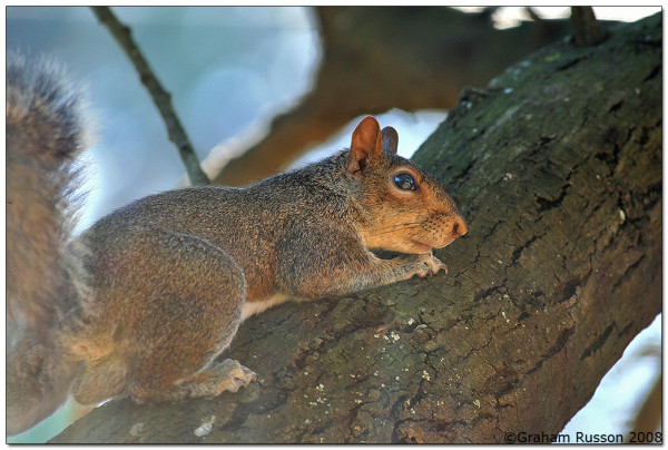 Berg River Squirrel