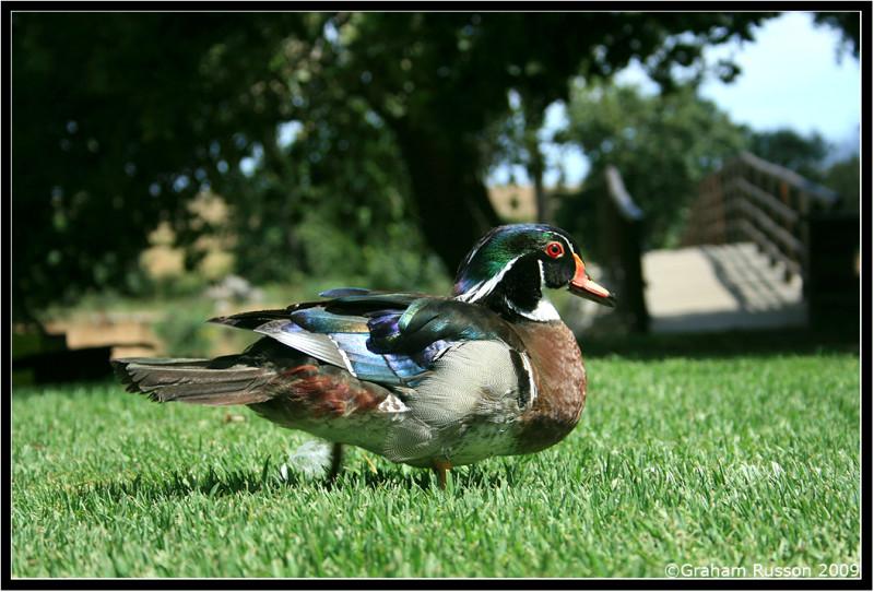 spier duck