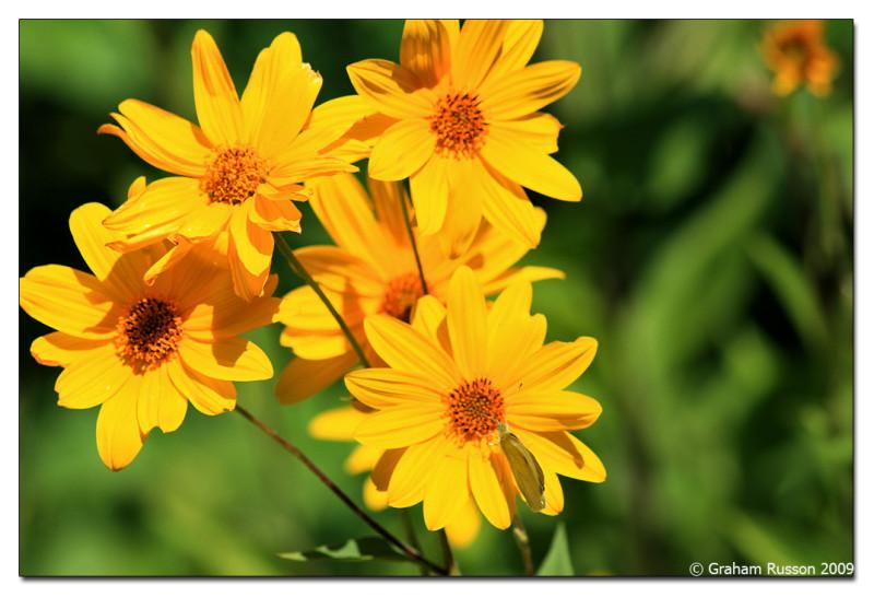 spier daisy