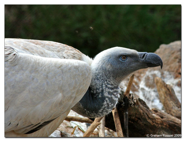 zoo vulture