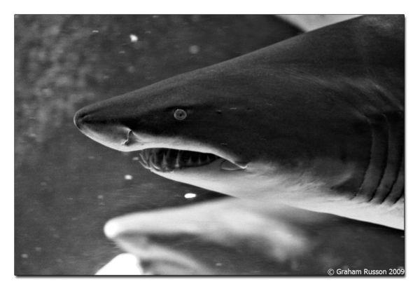 shark aquarium