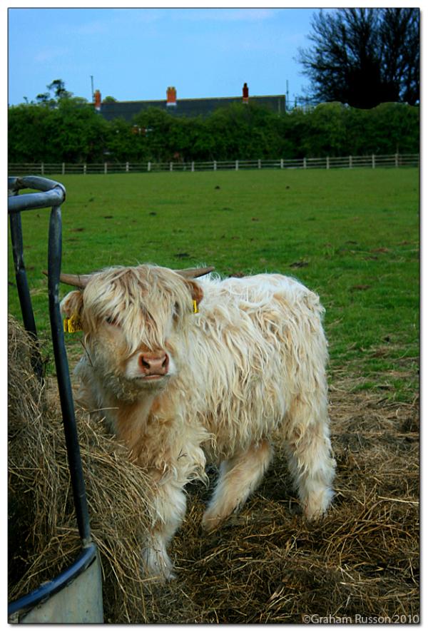 Shaggy Cow Milton Keyes