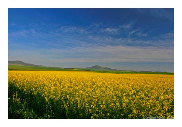 durbanville spring yellow