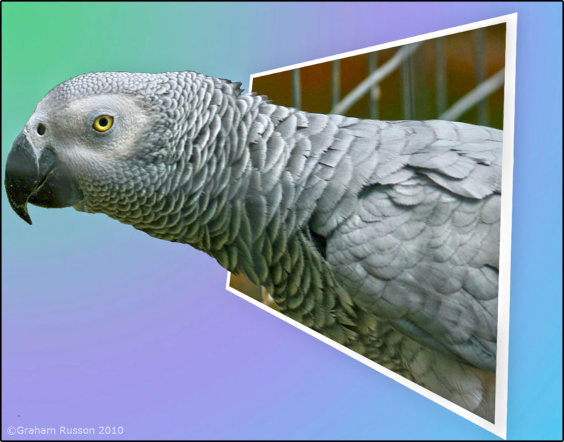 oob african grey
