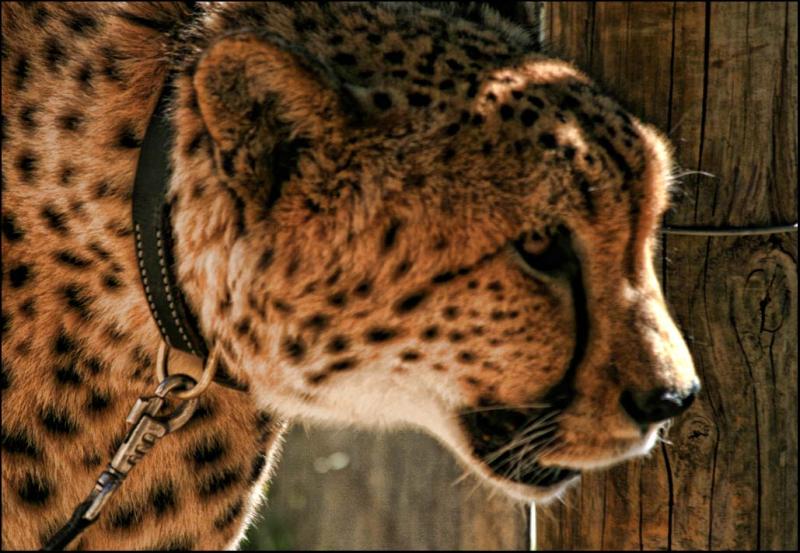 cheetah spier