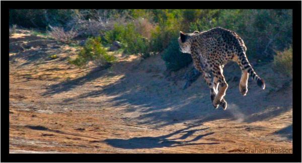 cheetah inverdoorn speed