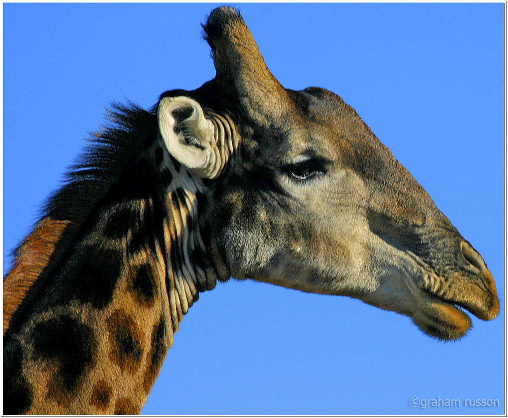 Giraffe Inverdoorn