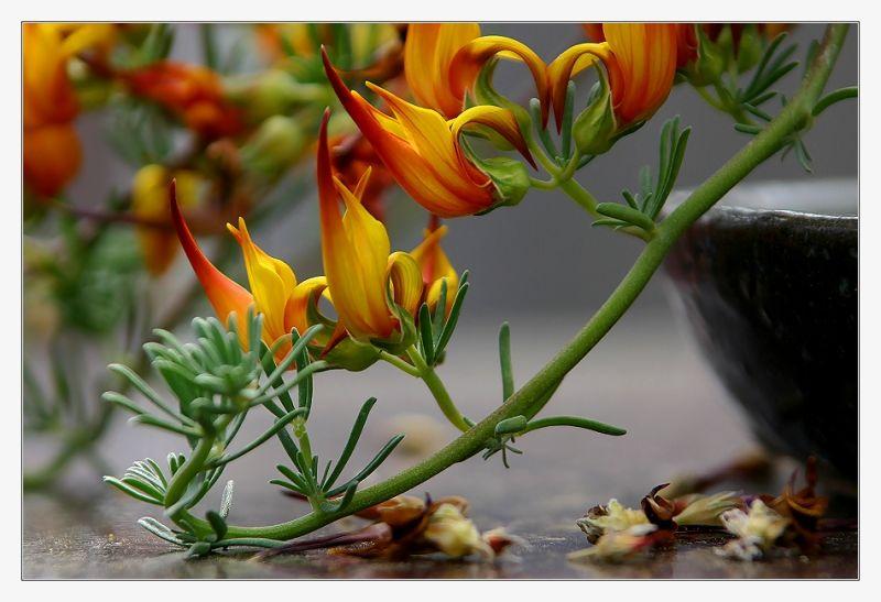 Lotus berthelotii (Hornklee)