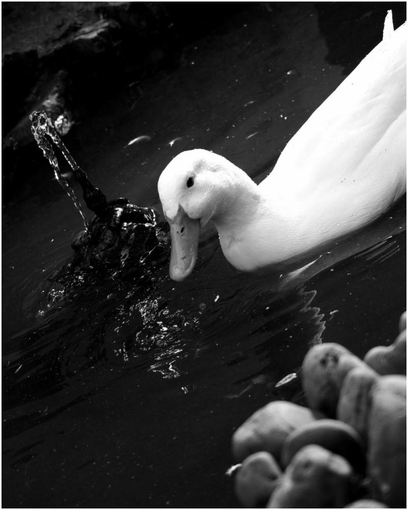 duck sister