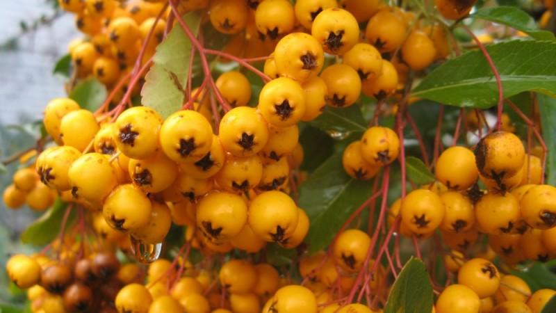 Winter Berries in rain