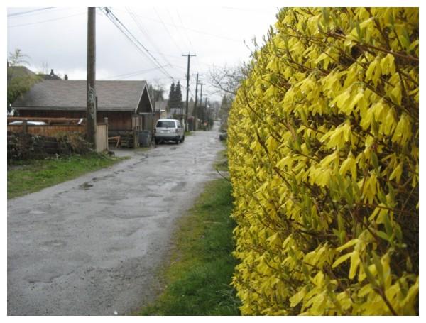 yellow spring alley bush