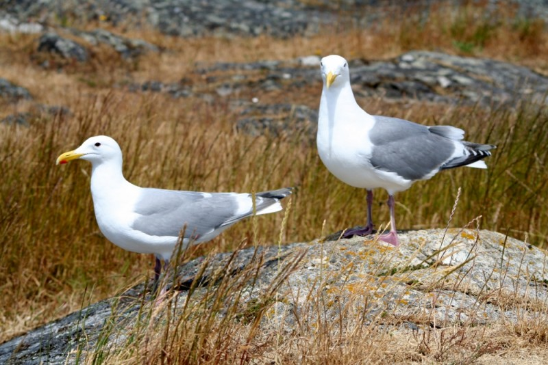 seagulls in grass and rocks