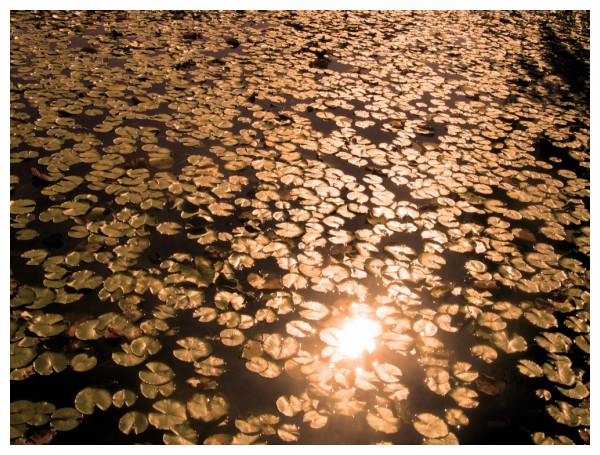 water lillies with sunlight reflection