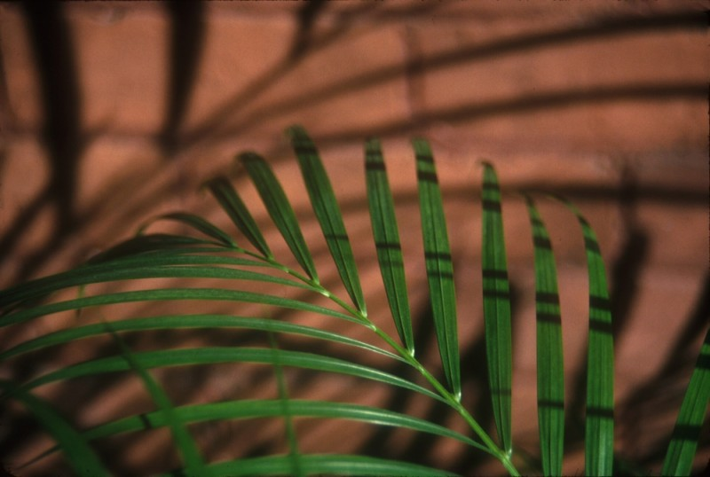 palm leaf with shadow