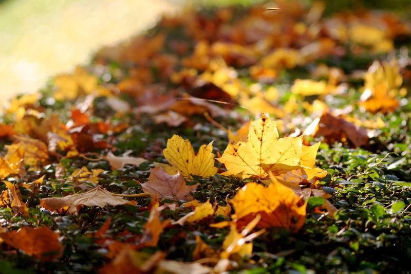 maple leaf down