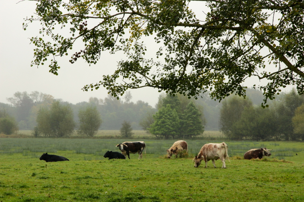 cows of England