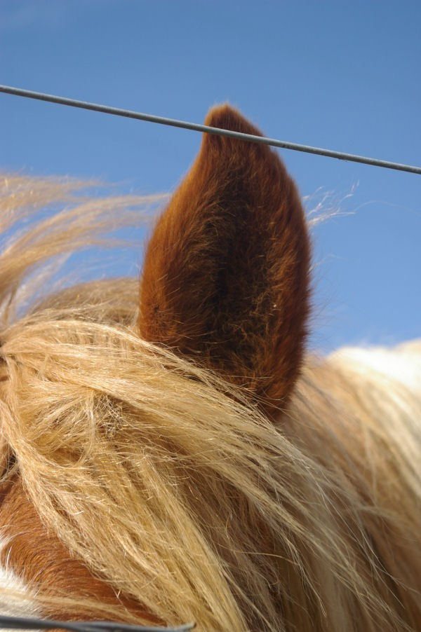 horse ear