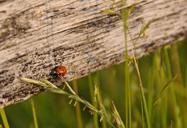 ladybug on a fence