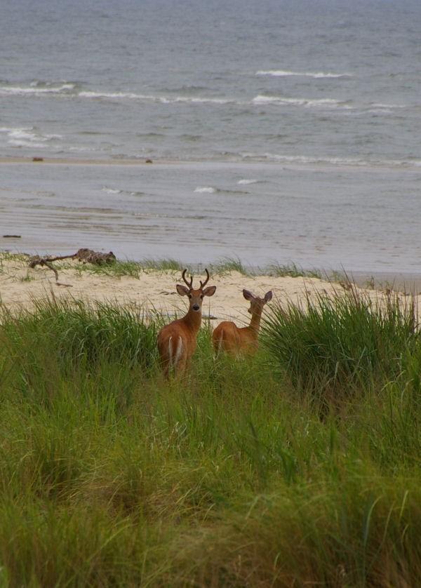 beach deer