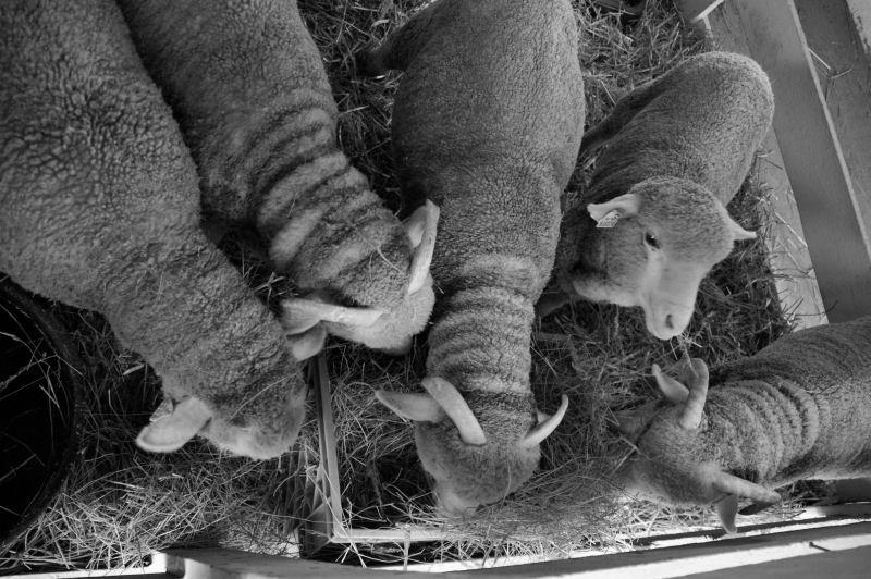 county fair - sheep