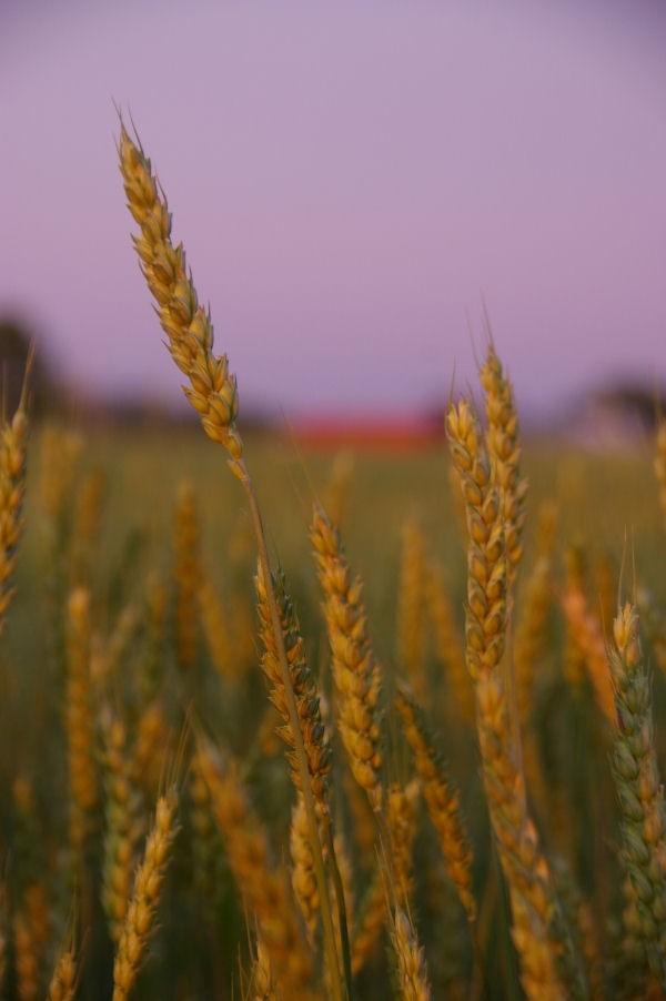 garden state - grain