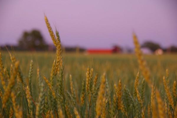 garden state - grain.2