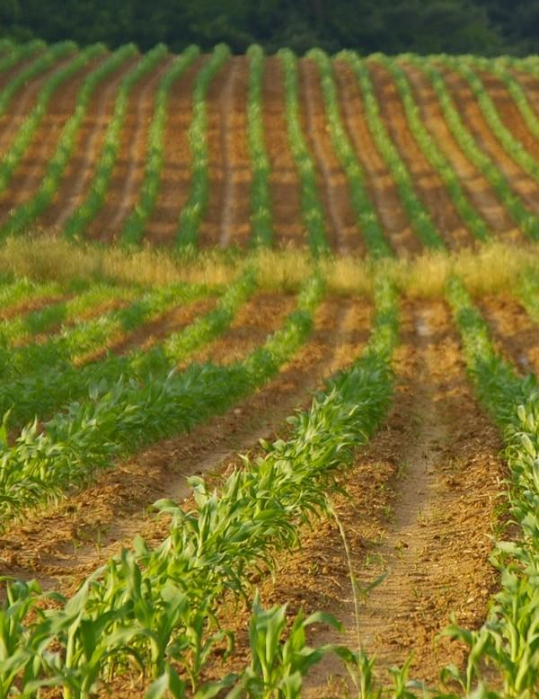 garden state - new corn