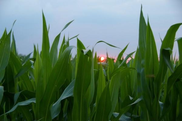garden state - corn sunset