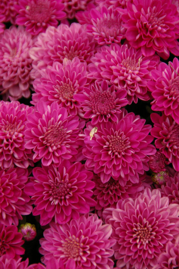 colorful mums
