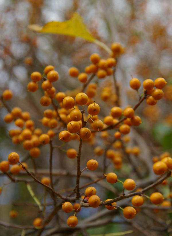 fort mott: berries.2