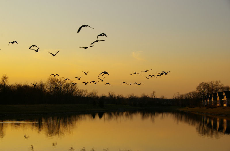 sunset geese