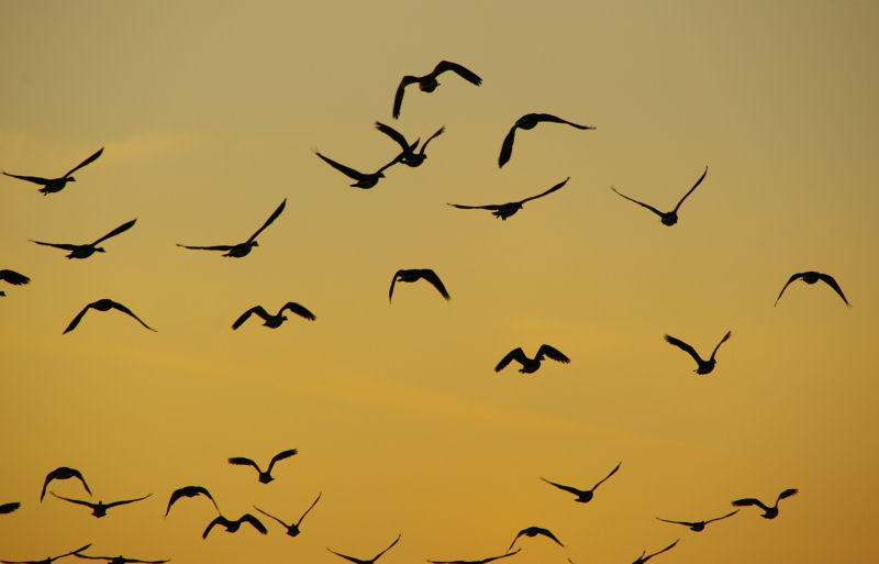 sunset geese.2