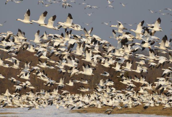 snow geese takeoff