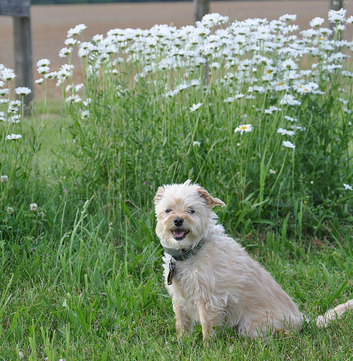 daisy and the daisies