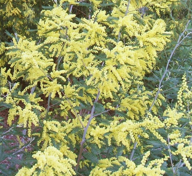 mimosa yellow