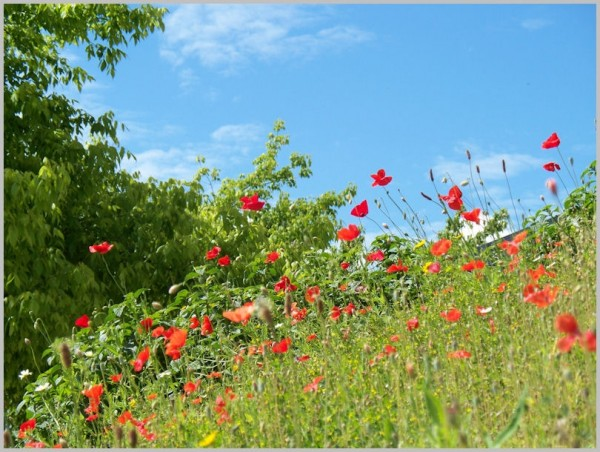 poppies hill