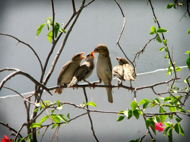 mother sparrow feeding the young