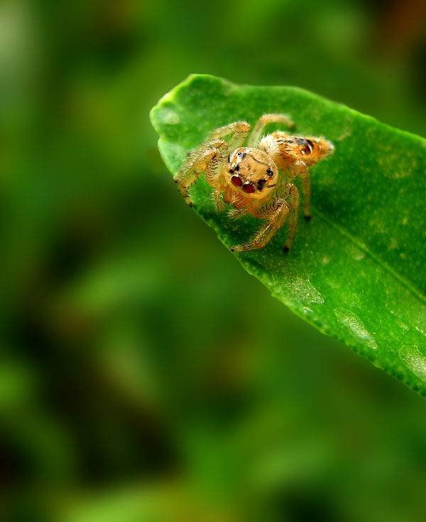 tiny spider on a lemon leaf