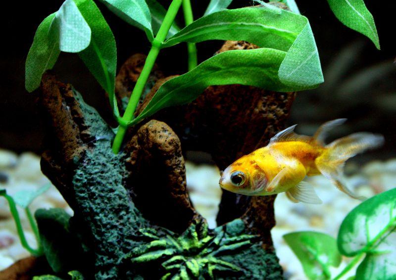 fantail in aquarium