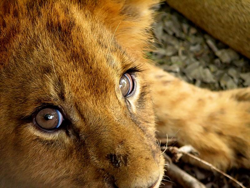 lion cub at lahore safari park